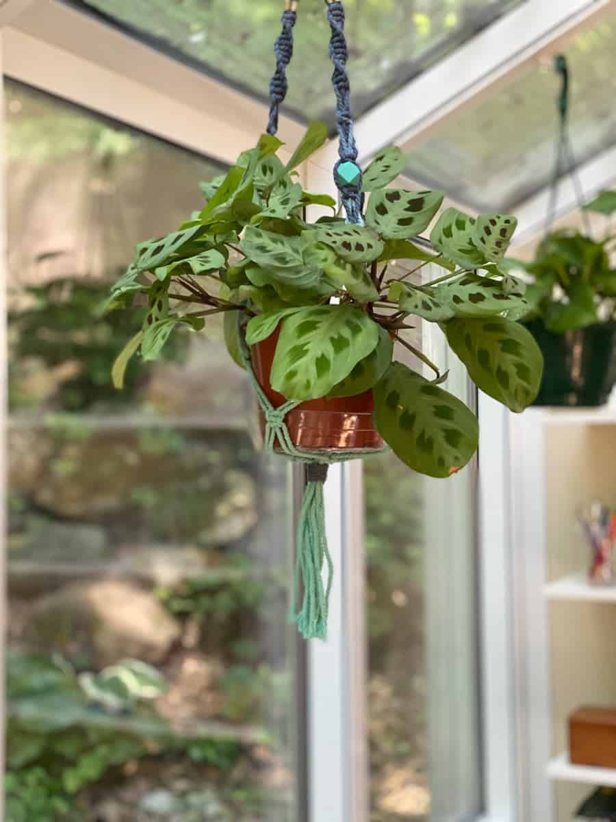 A green prayer plant hangs from a macrame planter in a sunroom