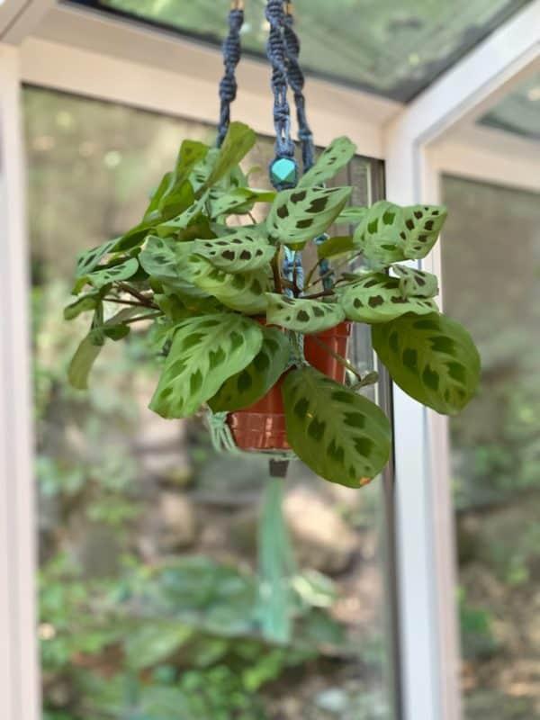 A green prayer plant hangs in a blue macrame planter