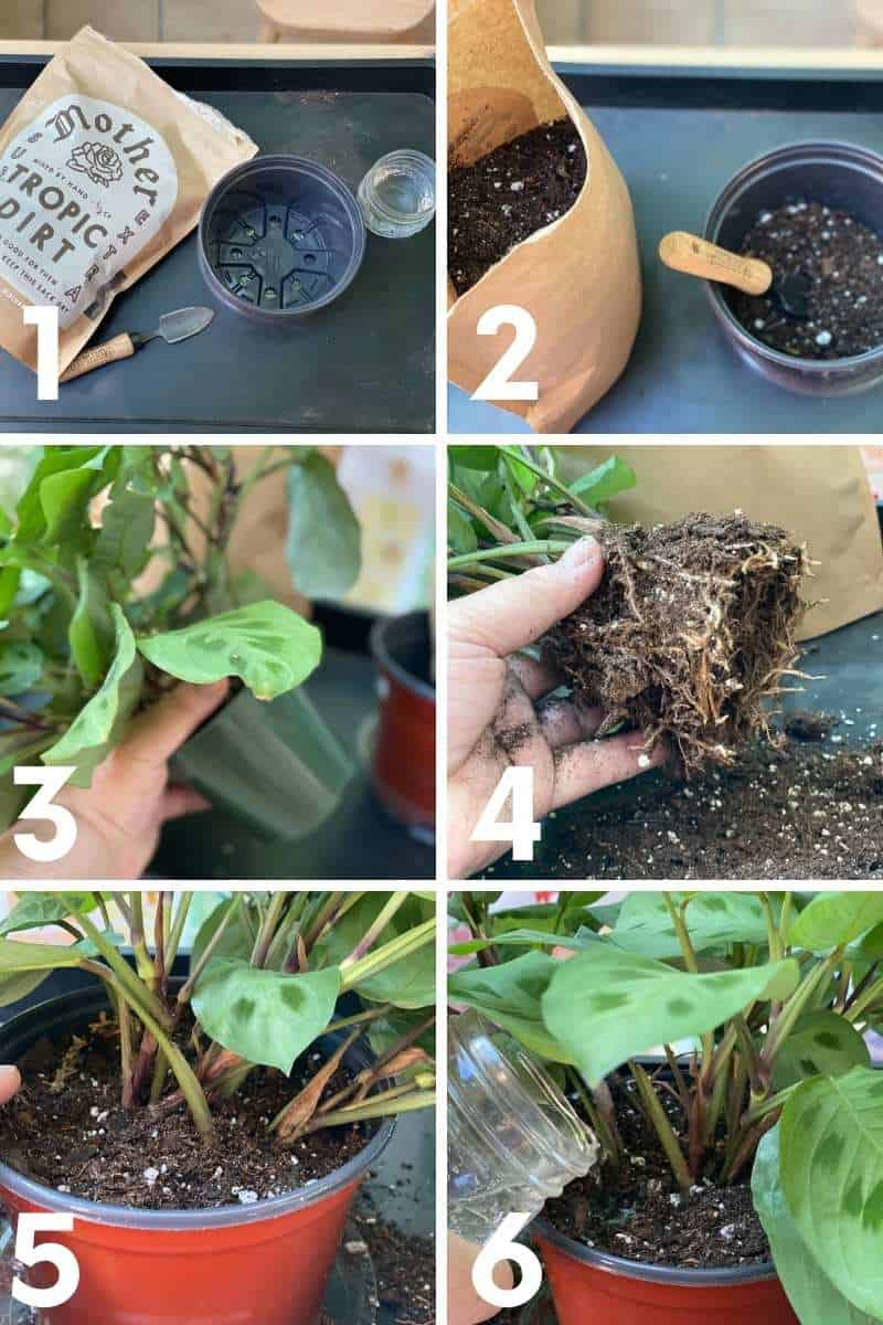 A split numbered image shows how to repot a plant, step by step
