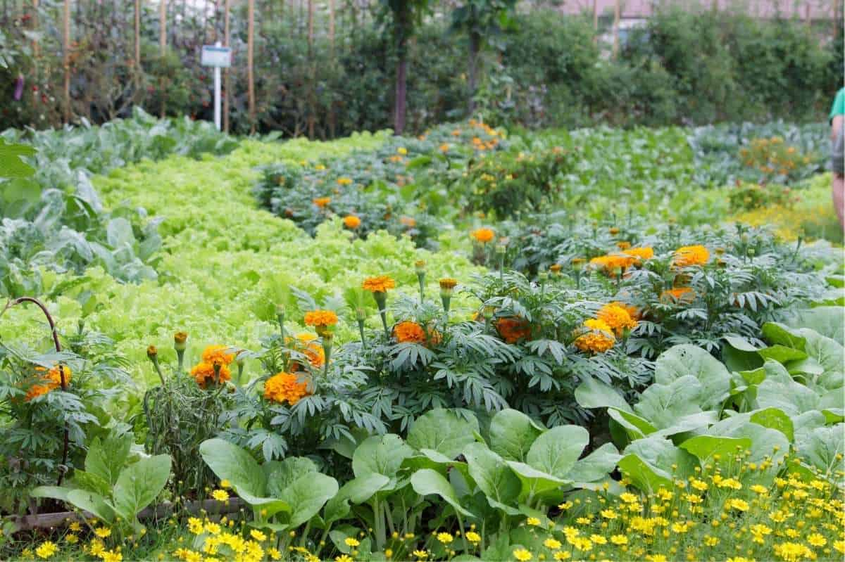 A lush garden with zig-zagging rows of marigolds, cabbage, and other greens