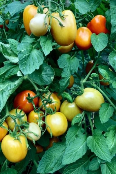 Close up of a lush tomato plant with tomatoes in various stages of ripeness