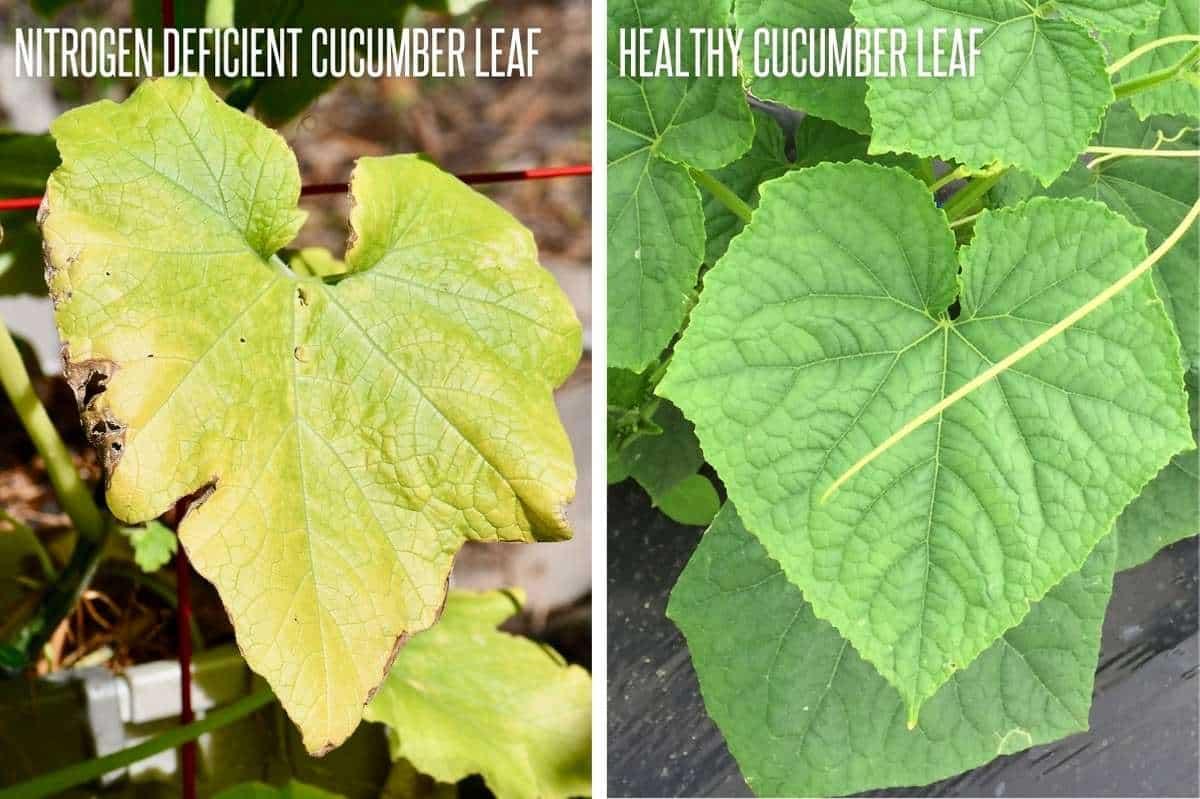 A split image shows a nitrogen deficient cucumber leaf next to a healthy cucumber leaf