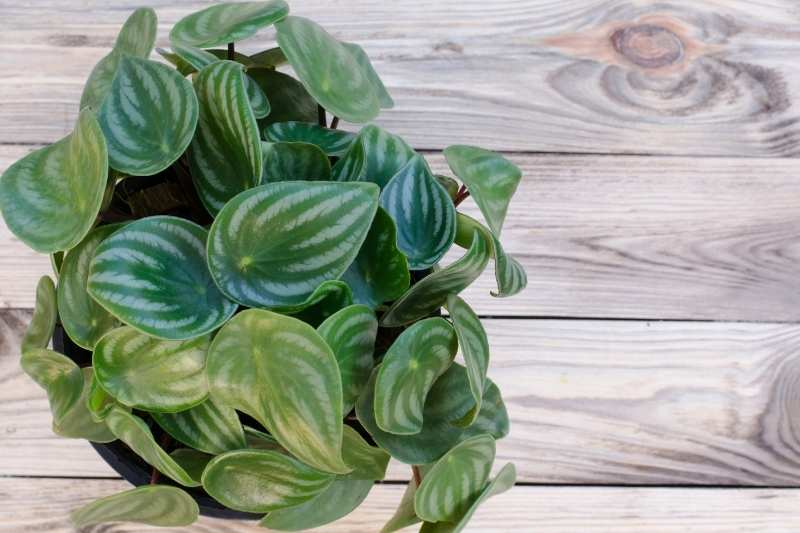 Watermelon peperomia on a wooden surface