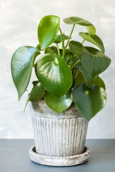 Owl eye peperomia in an aged-looking pot