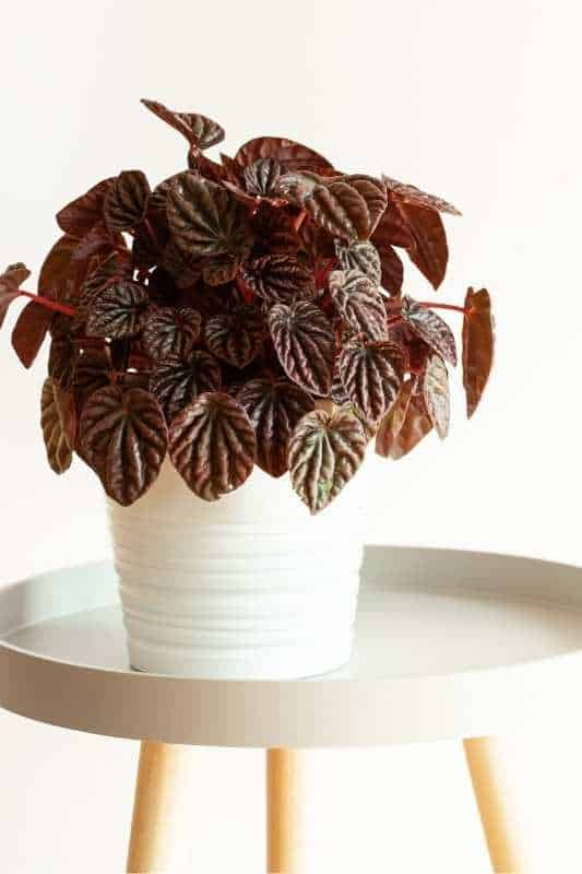 A red peperomia with deeply textured leaves in a white pot on a white table