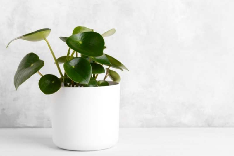 Peperomia with Tear drop shaped leaves in a white pot