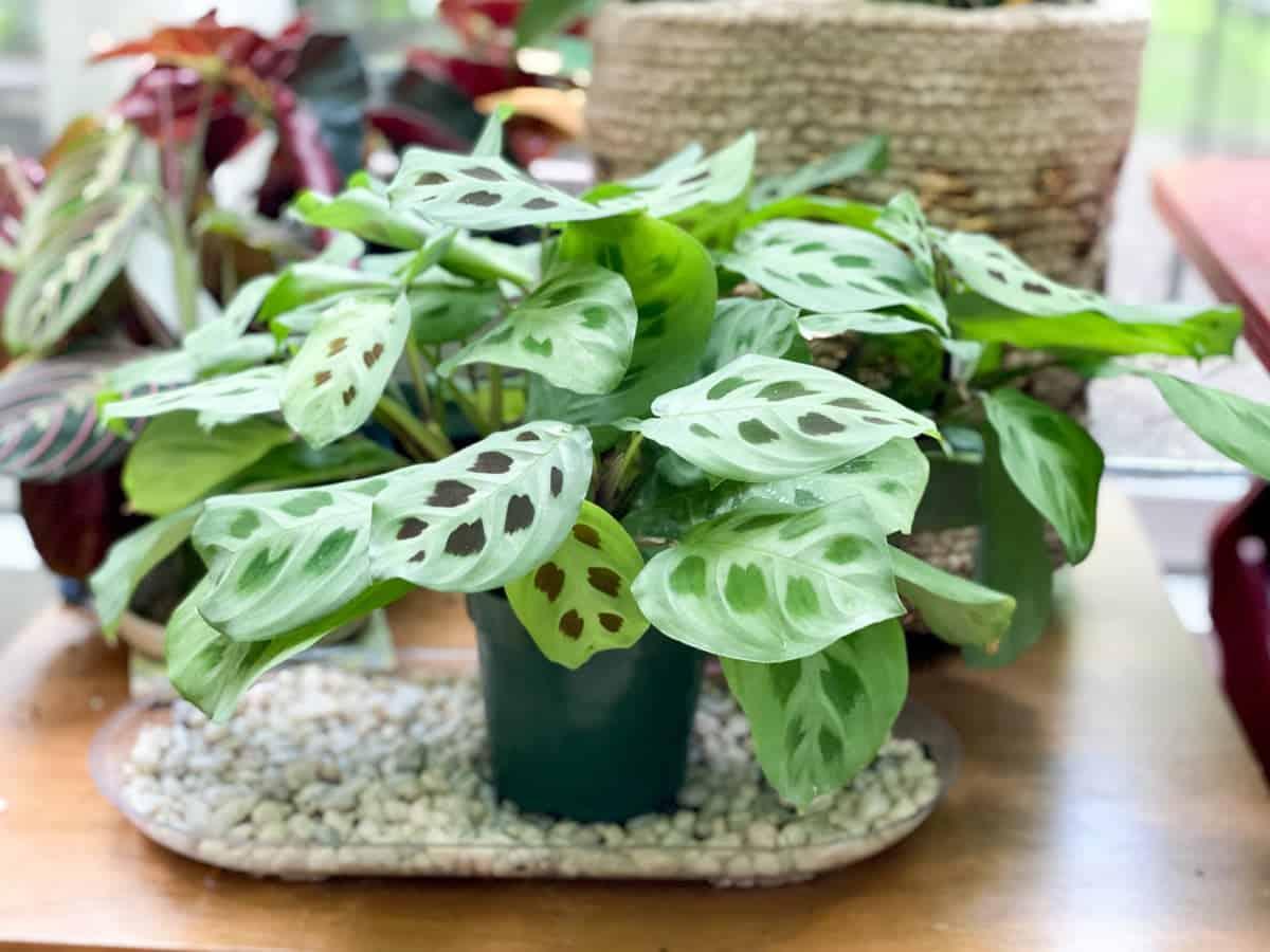 A Maranta leuconeura 'Kerchoveana' that is too big for its nursery pot sits on a pebble tray