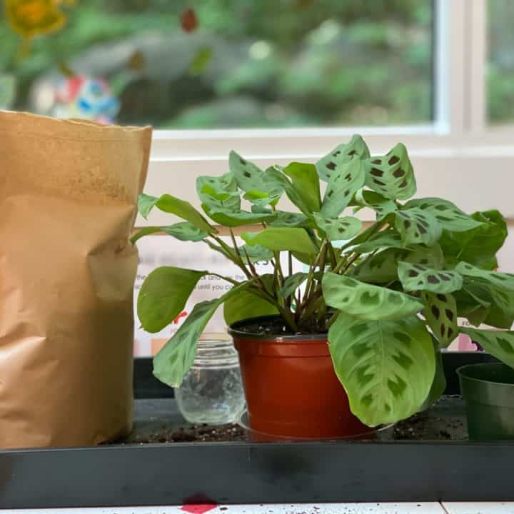 A green prayer plant that has just been repotted sits on a black tray with a bag of potting soil, its old pot, and a water jar.