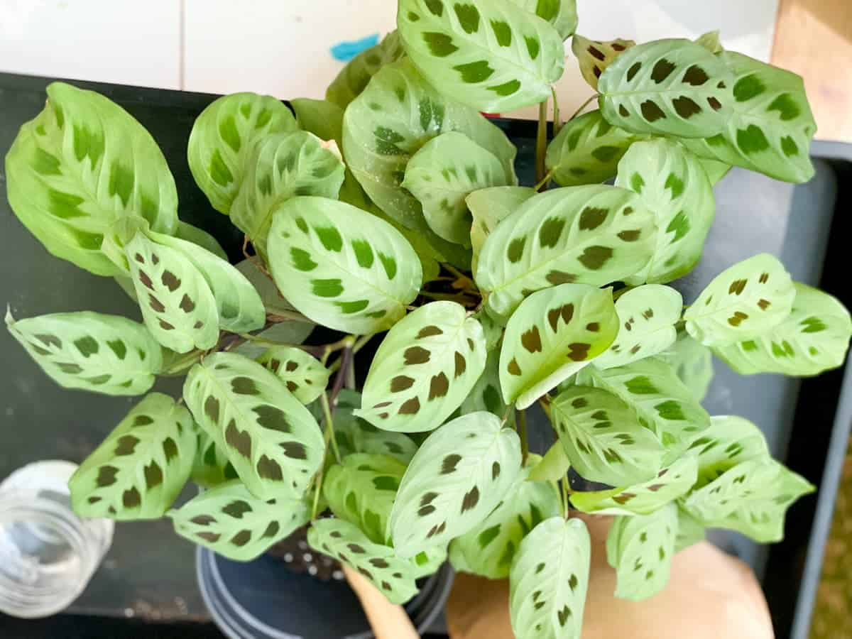 A green prayer plant in need of repotting