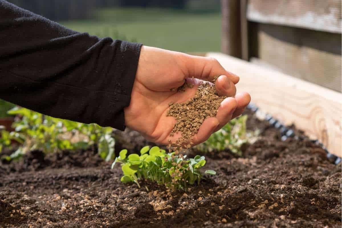 A hand side dresses seedlings with nitrogen fertilizer