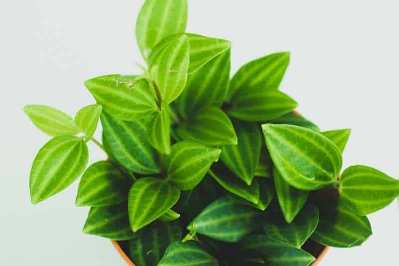 Small leaves of a peperomia plant