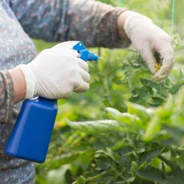 Gloved hands spray natural bug repellent on a tomato plant from a blue spray bottle