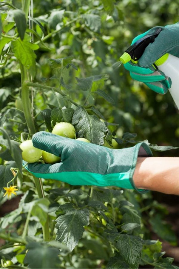 One gloved hand props up green tomatoes on a plant while another holds a spray bottle full of natural bug repellent to spray on the plant