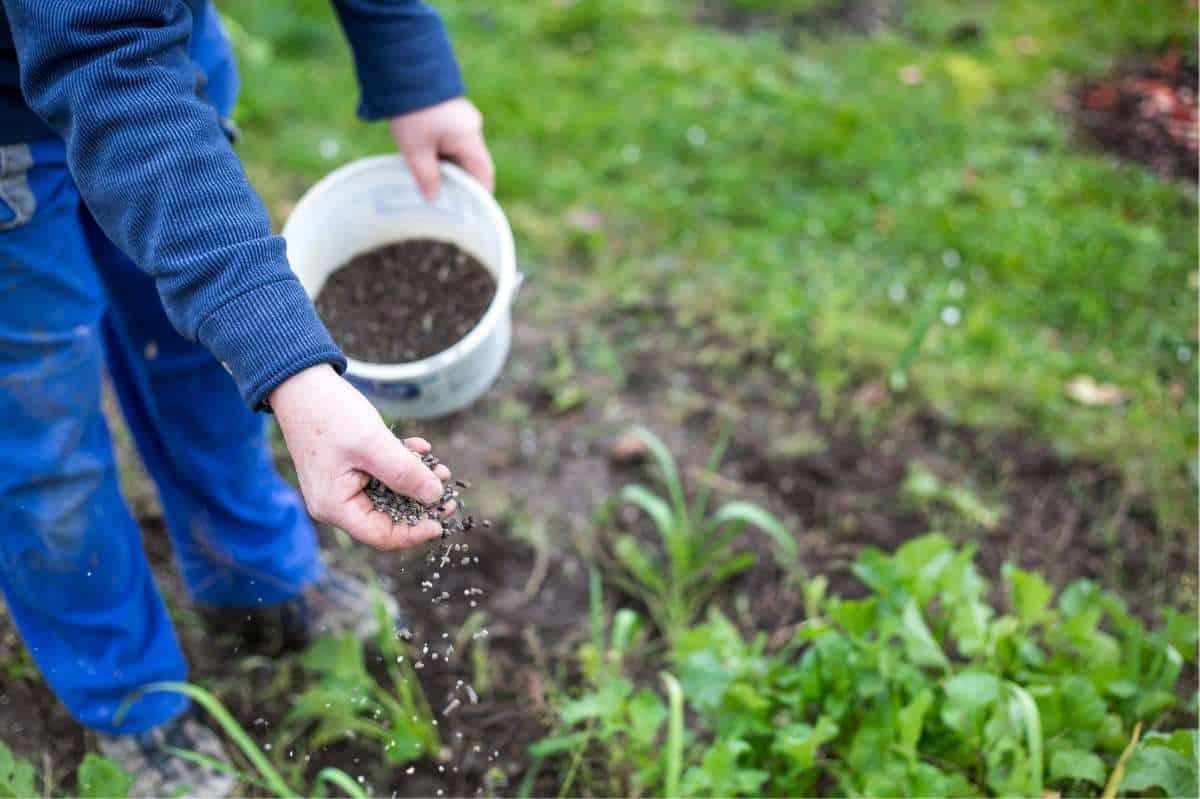 A hand scatters nitrogen-rich fertilizer in a garden