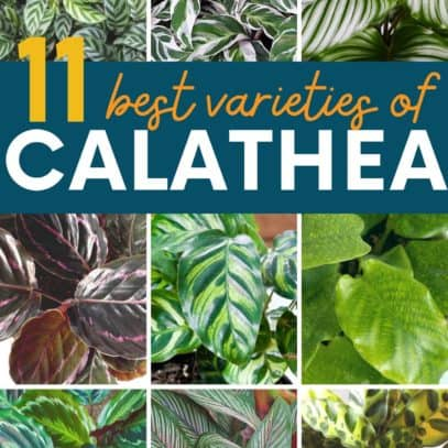 """A collage of calathea varieties, with a text overlay of """"11 best varieties of calathea"""""""