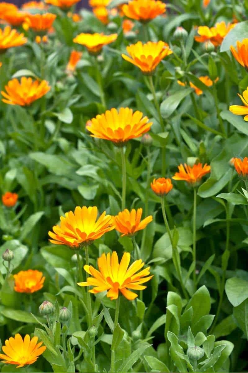 Close up on a calendula plant with orange flowers in various stages of blooming