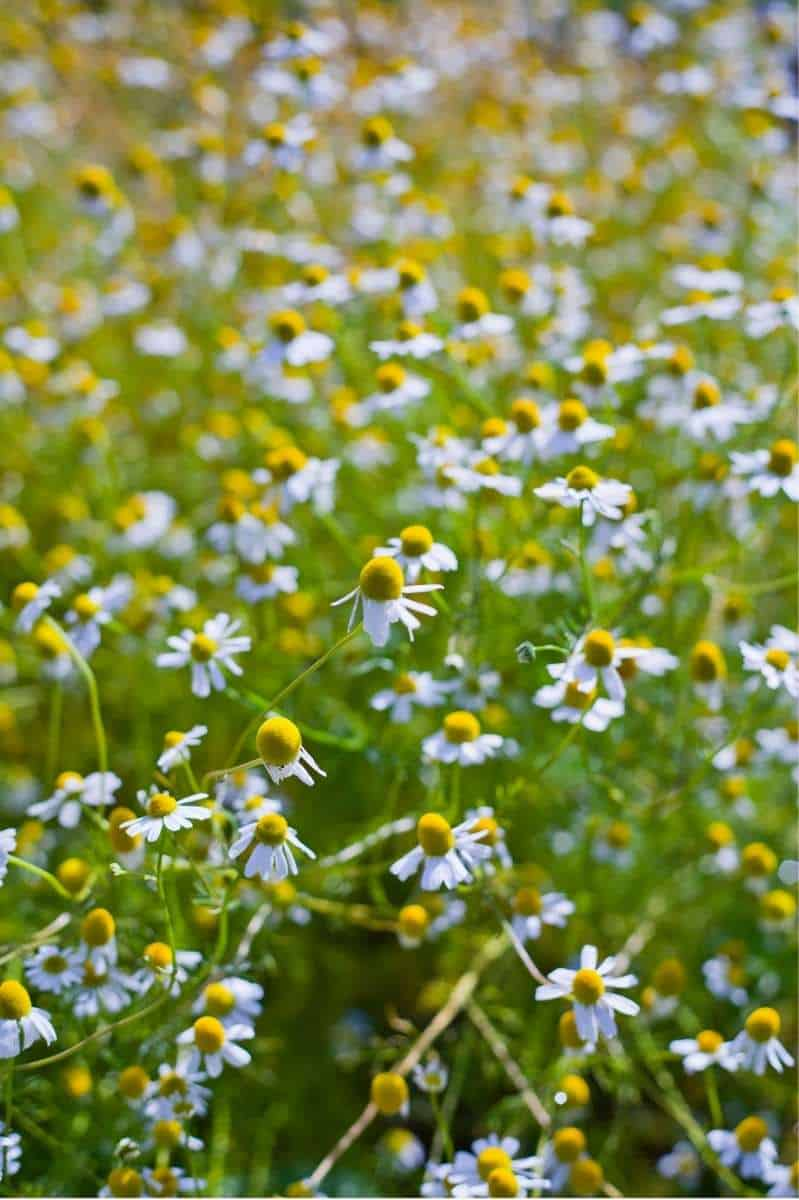 A field of blooming chamomile flowers.