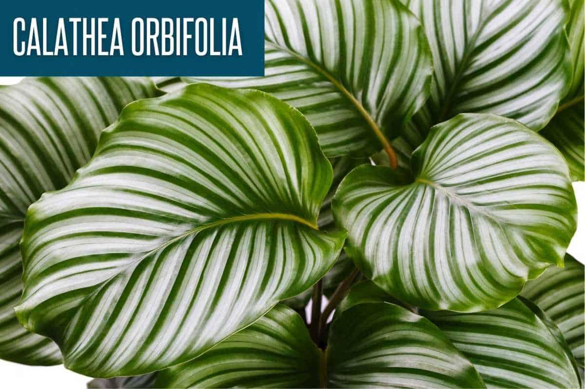 Calathea orbifolia leaves, labeled with the plant name