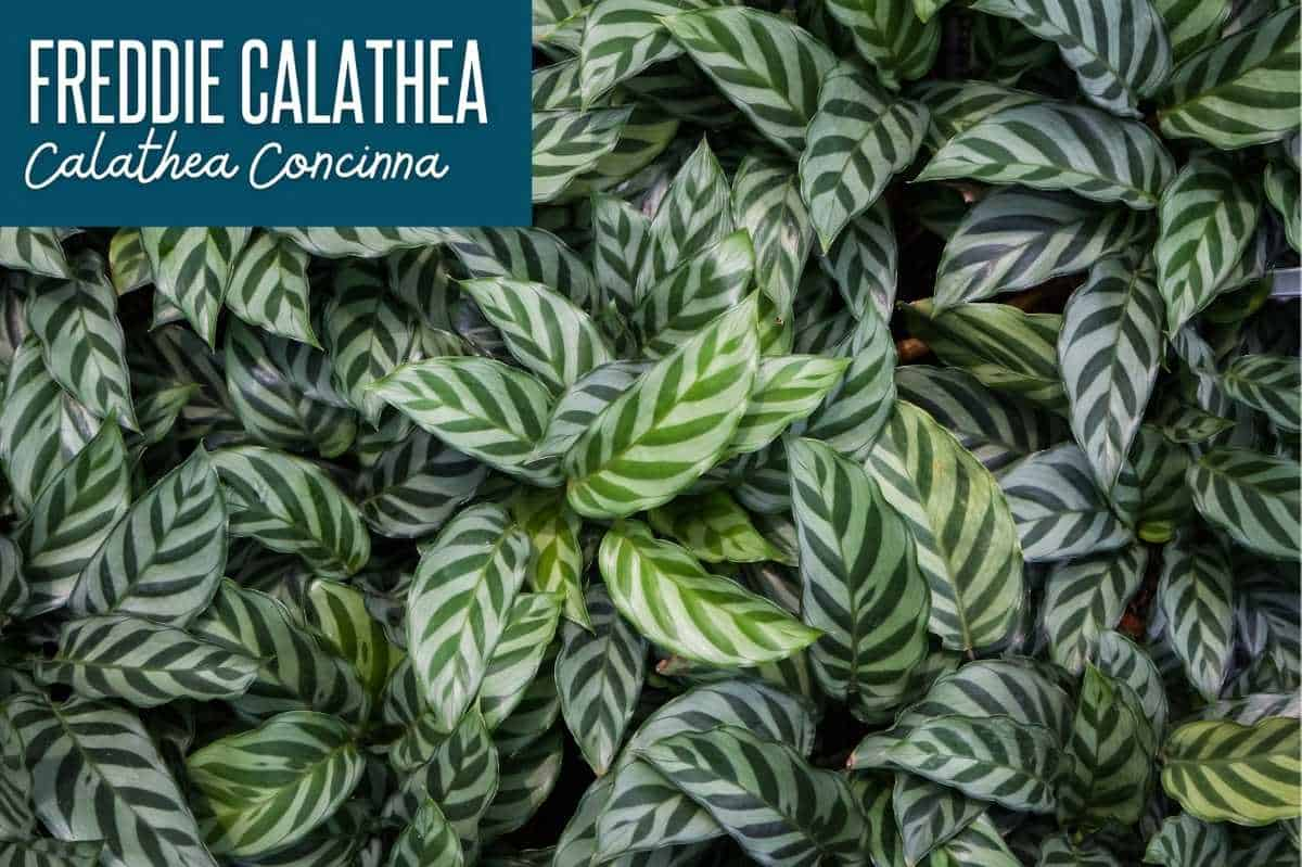 Freddie Calathea/Calathea Cocinna, labeled with the plant name