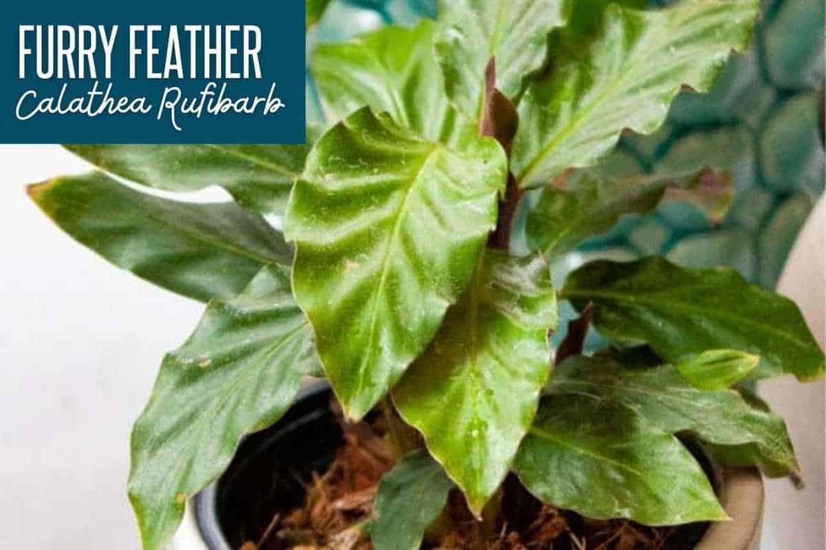 Calathea rufibarba/furry feather calathea, with a text box labeling the calathea variety