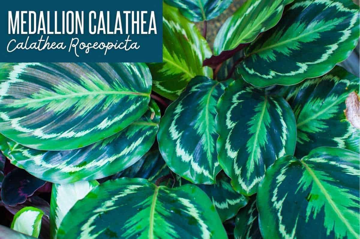 Medallion Calathea/Calathea Roseoptica, labeled with the plant name