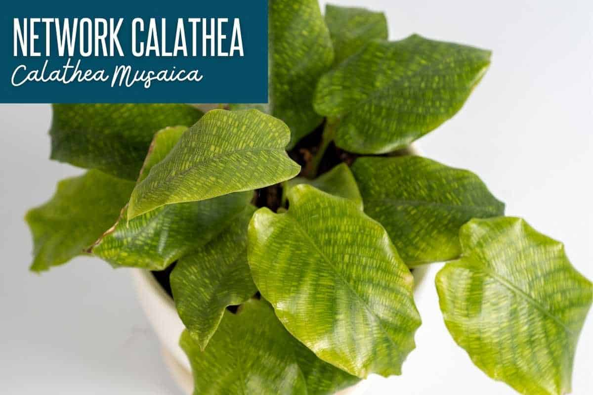 A network calathea, or calathea musaica, labeled with the name of the calathea variety
