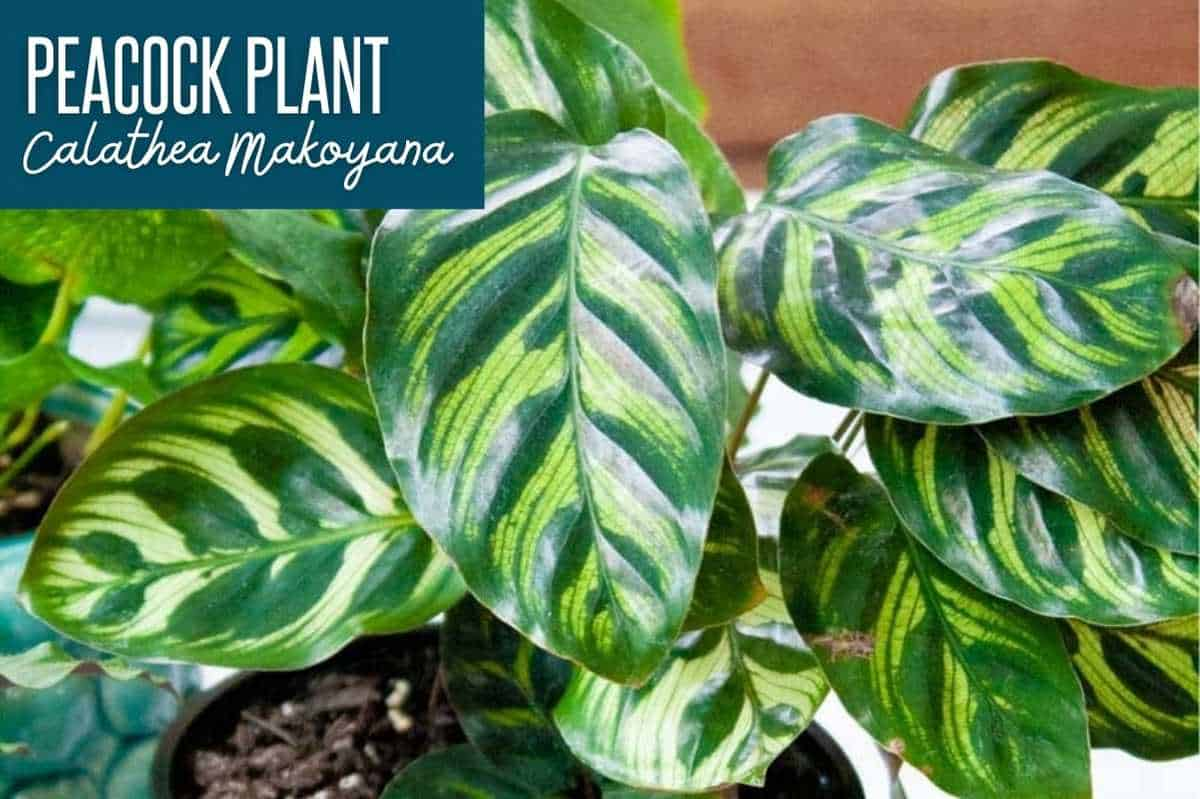 Peacock plant, or calathea makoyana, labeled with the name of the calathea variety