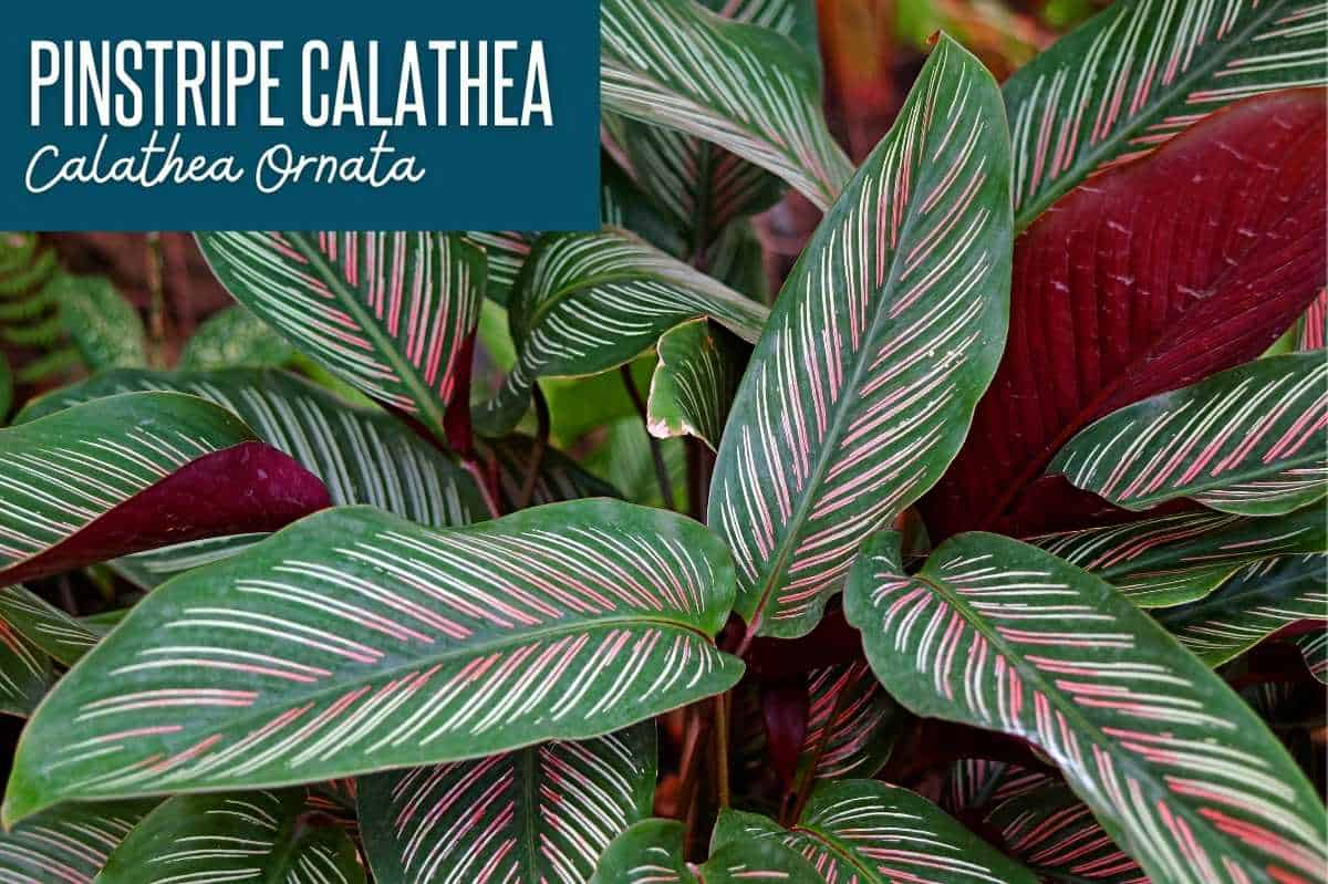 Pinstripe calathea, or calathea ornata, labeled with the calathea variety name
