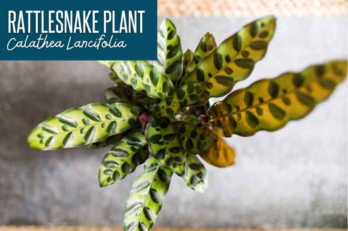 Rattlesnake plant, or calathea lancifolia, labeled with the plant name