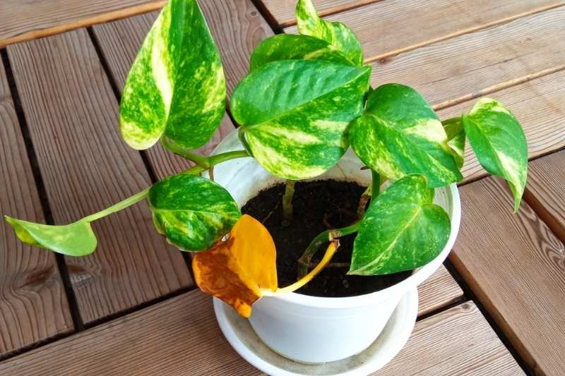A golden pothos in a white pot. A leaf toward the bottom of the plant has turned yellow.