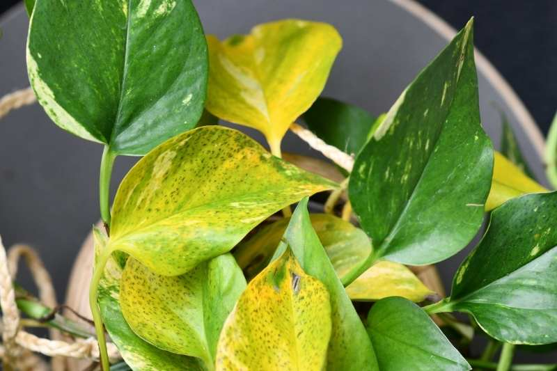 A pothos plant with several yellow leaves
