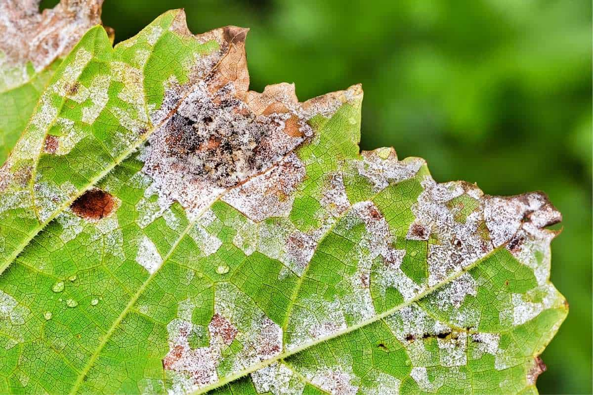 Close up on the damage caused by downy mildew on a leaf