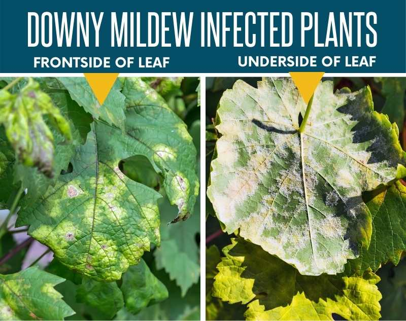 A side by side image showing the frontside and underside of a leaf infected with downy mildew.