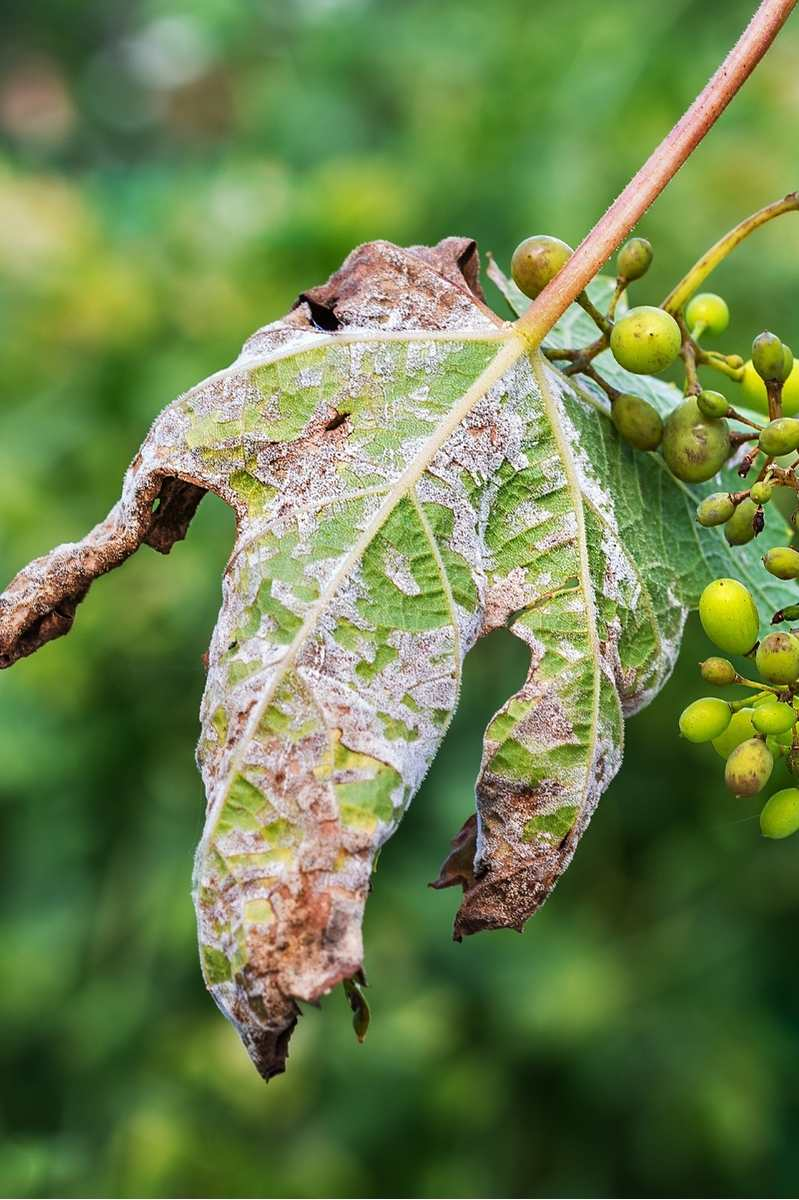 Close up on the damage inflicted on a leaf by downy mildew. Clusters of grapes are next to the leaf