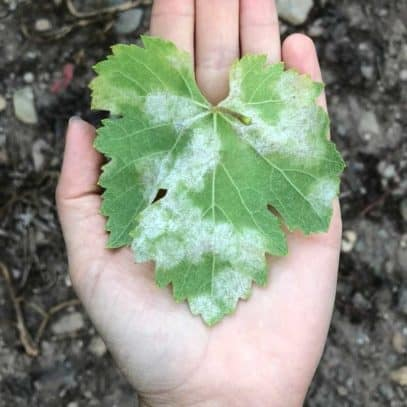 A hand holds out a grape leaf infected with downy mildew