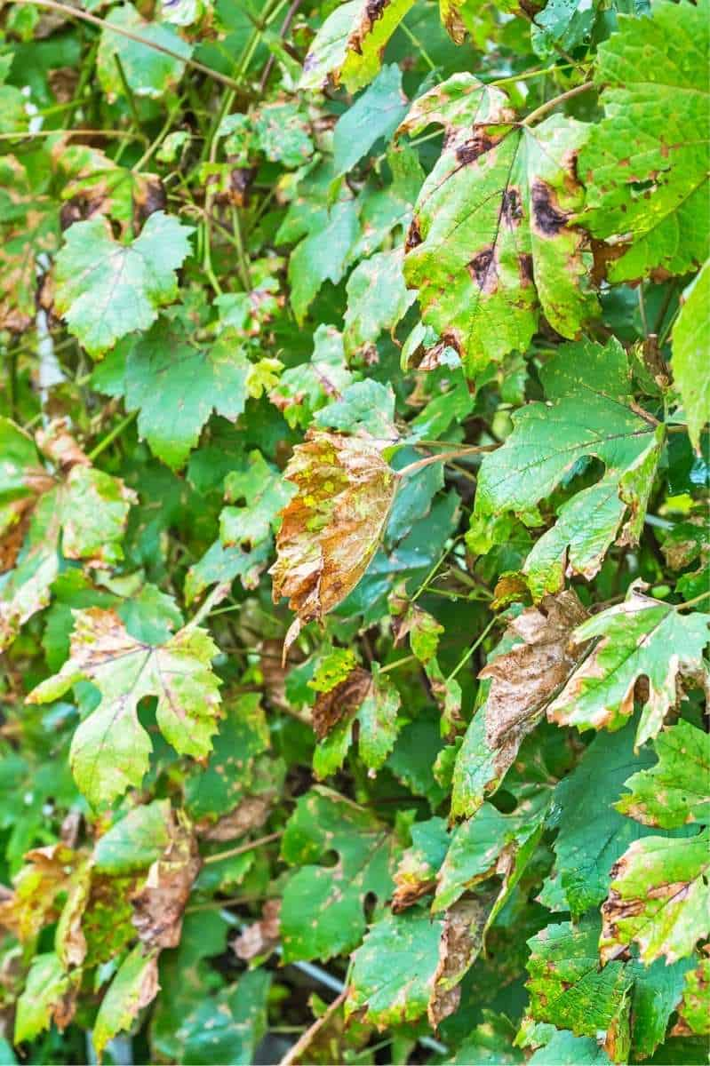 Grape vines infected with downy mildew