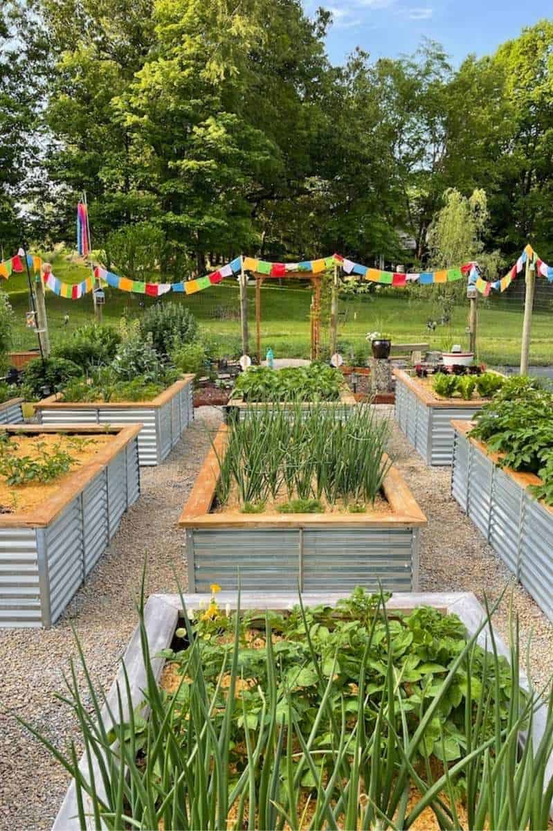 A raised bed garden full of vegetables. There are no weeds in the aisles between the beds
