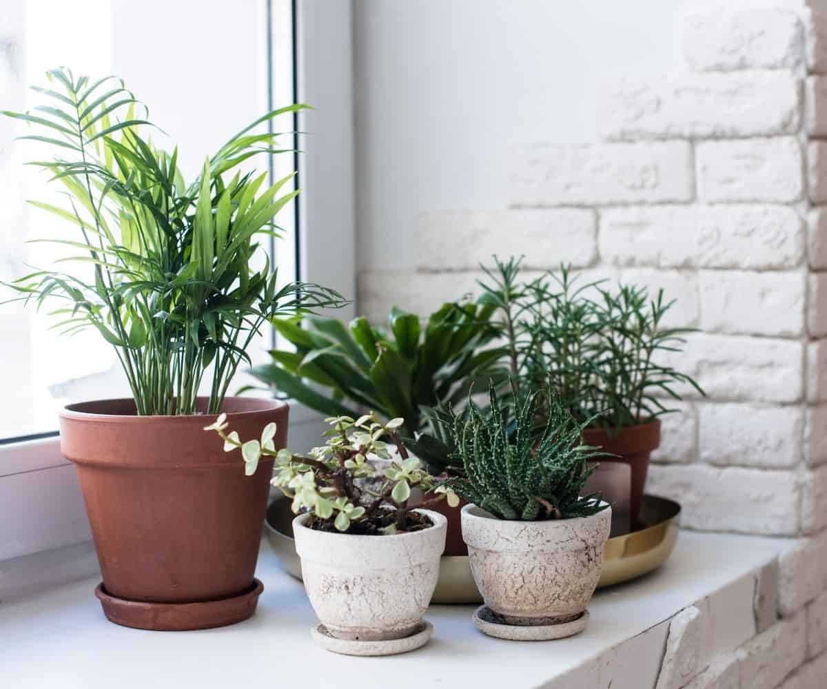 A collection of houseplants are clustered on a windowsill.