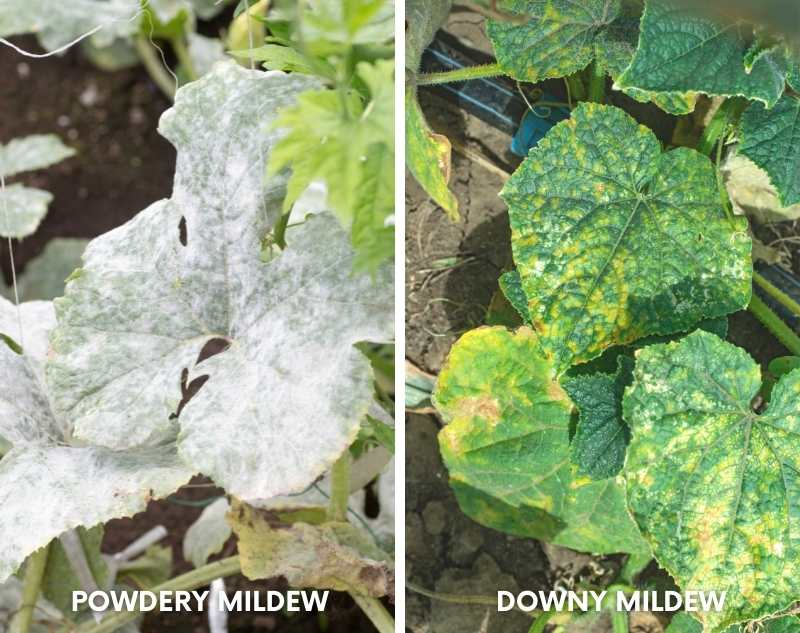A side by side image comparing powdery mildew to downy mildew