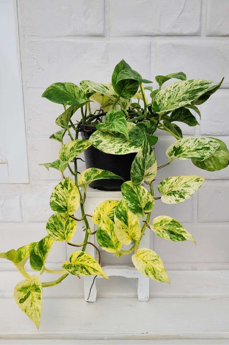 A variegated pothos plant