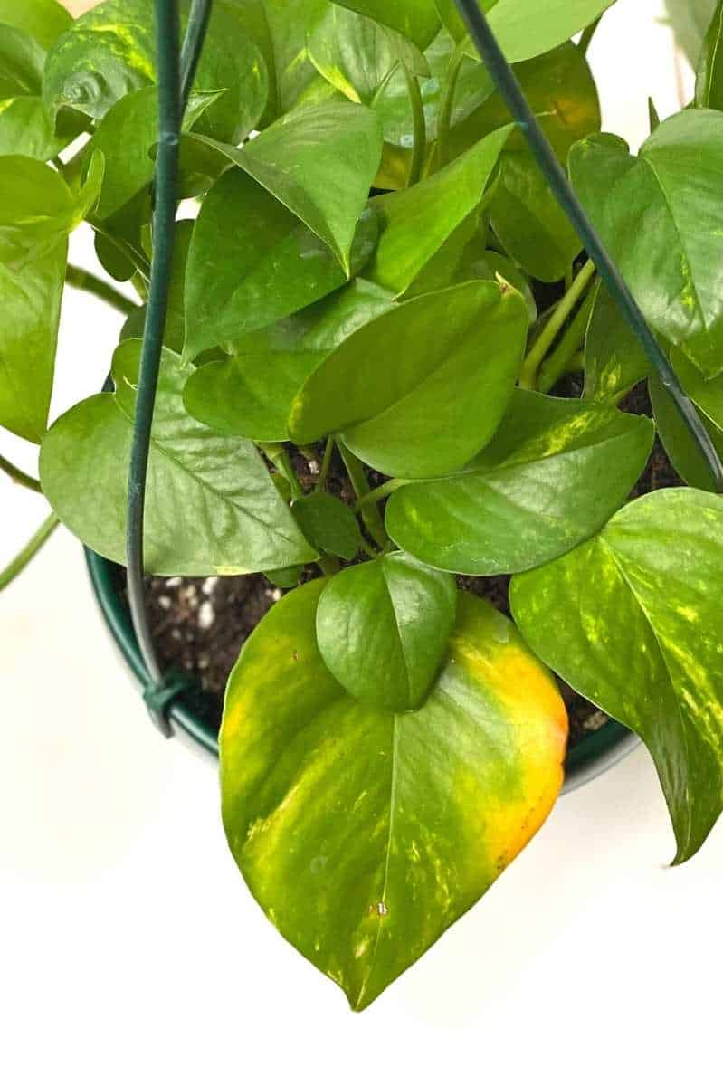 A golden pothos. One older, larger leaf is starting to yellow around the edges.