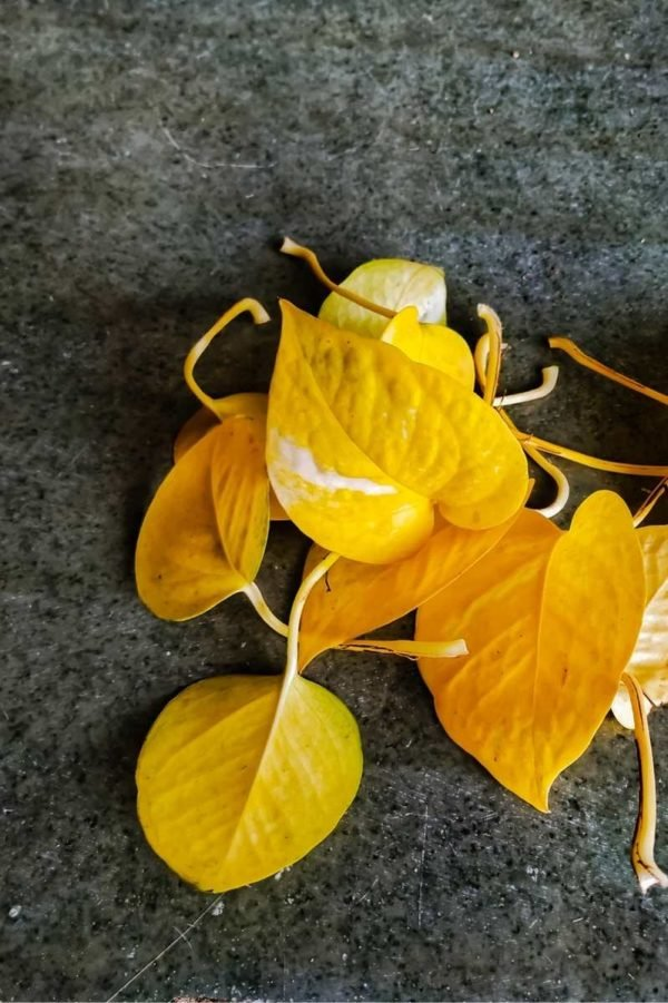 Yellow leaves that have been clipped from a pothos
