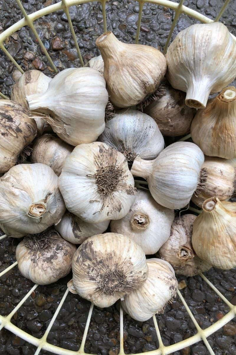 A basket of heads of garlic