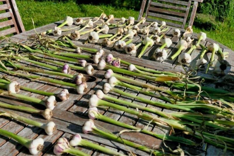 Garlic plants are spread out on a wooden table to cure