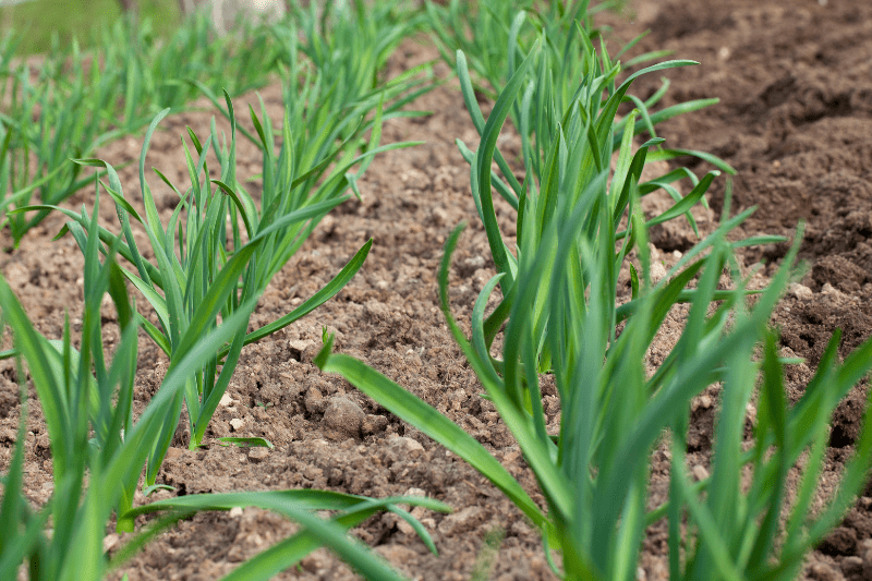 Early garlic plants poke out of the soil