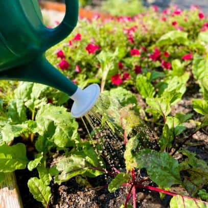 A green watering can waters beet plants