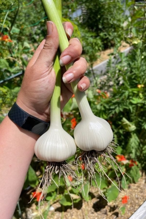 A hand holds two bulbs of garlic by their stems