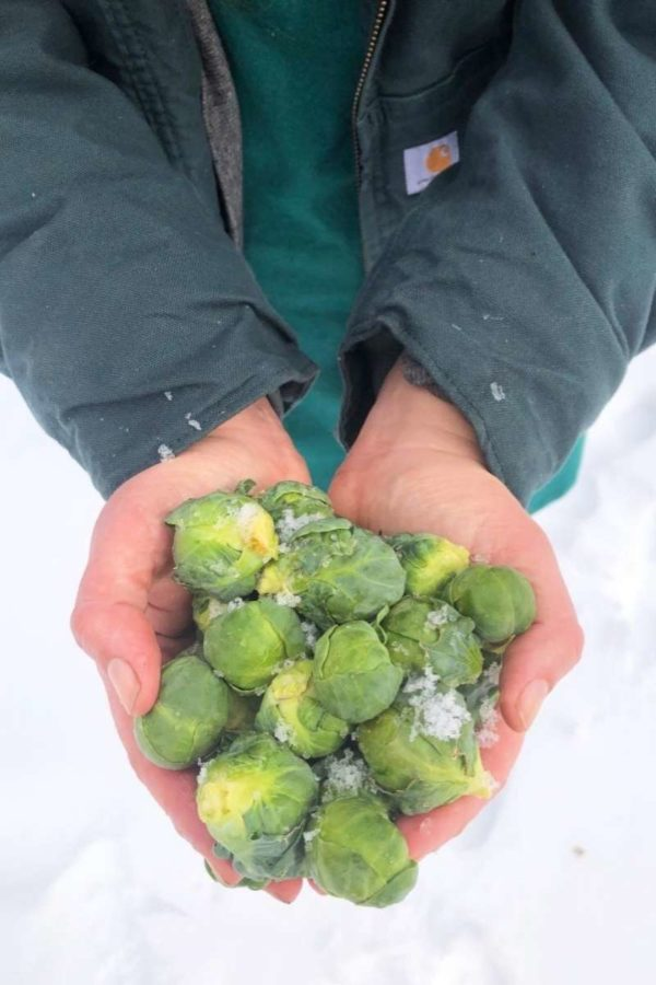 Two hands hold Brussels sprouts over the snow