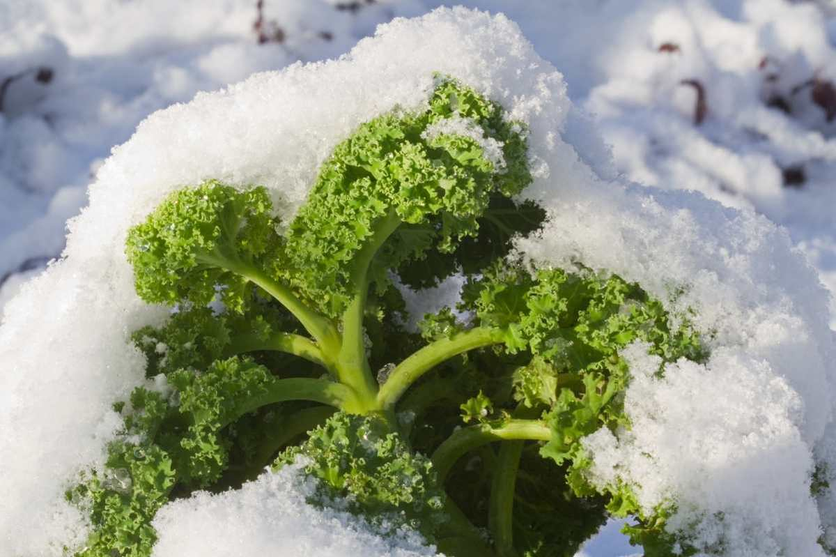 A kale plant is covered in snow.