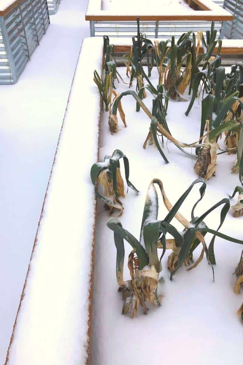 Leeks poke out from a snow-covered raised bed, where they will overwinter